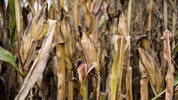 例年より雨が遅れたために全滅したトウモロコシ畑